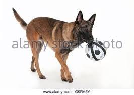 belgian malinois en espanol malinois or belgian shepherd dog walking beside a bicycle stock