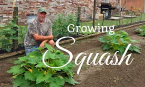 hd how to grow yellow crookneck and zucchini squash youtube