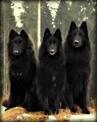 belgian sheepdog and cats 81 best belgian sheepdogs images on pinterest belgian shepherd
