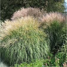 aliexpress buy 5pcs ornamental grass seeds silver feather