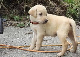 labrador retriever puppies soggy acres retrievers