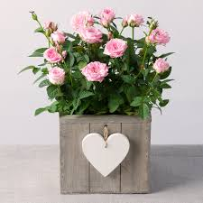 mothers day plants pink plant in heart crate s day plant bunches co uk