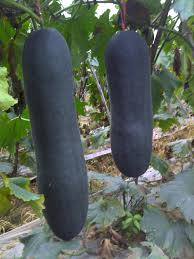 free shipping 8pcs lot chinese vegetable giant black winter melon
