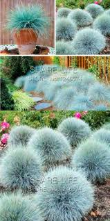 visit to buy blue fescue grass seeds festuca glauca perennial