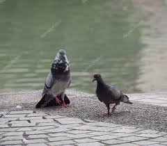 a rock dove pigeon is using visual signal sho