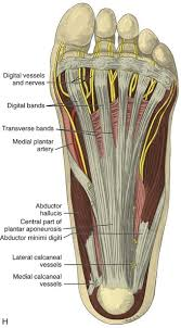 Foot Anatomy Nerves Ankle Foot And Lower Leg Ultrasound Clinical Gate