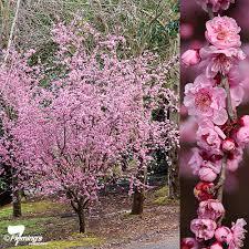 prunus flowering plum blireana perth wa garden centre