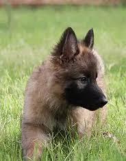 belgian shepherd for sale in india sicherheitkennel dogs for sale