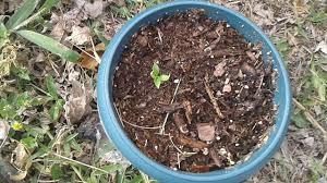organic garden blue lake bush bean seedlings part 4 youtube
