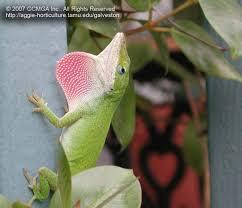 Backyard Reptiles Beneficial Lizards In The Landscape 19 Green Anole Lizard