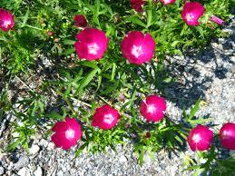 fafardflowers fafard