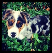 australian shepherd upkeep 89 best dogs images on pinterest animals dogs and puppies