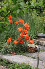 large red poppies growing on a patio area next to an overgrown