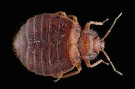 How To Kill Bed Bugs At Home Essential Oils Fail At Killing Bed Bugs Wired