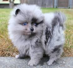 puppies for sale blue pomeranian puppies for sale and from breeders