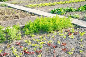lettuce plants on a vegetable garden patch stock photo image of