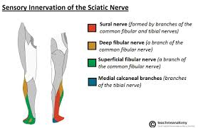 Sole Of The Foot Anatomy The Sciatic Nerve Course Motor Sensory Teachmeanatomy