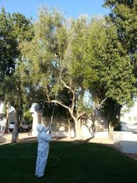 olive tree spraying ornamental orange tree spraying
