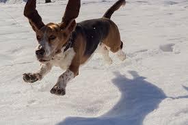 a basset hound running and jumping through snow bassett hounds