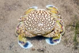 real monstrosities moon crab
