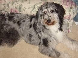 belgian sheepdog poodle mix shepadoodle german shepherd and poodle mix