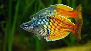 melanotaenia boesemani freshwater aquarium fish wallpapers13 com