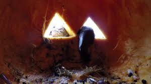 otters meet jack o lantern youtube
