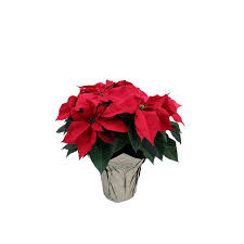 shop poinsettia l22289 at lowes com