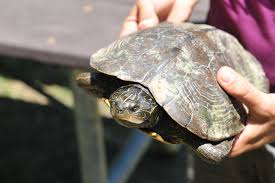 map turtle the turtle and the town freshwater species of the week national