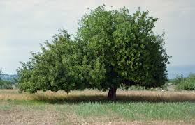 the rayve israeli carob trees smell like