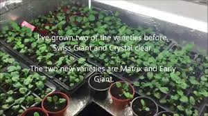 growing winter pansy from seed 4 varieties matrix swiss giant