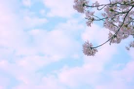 free picture park spring season cherry blossom flowers sky