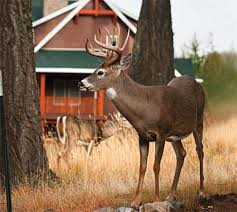 deer hunting tips for targeting backyard bucks outdoor life