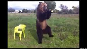 Dancing Bear Meme - bear gif search gifclip