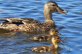 encounters with a hungry muskrat bold ducklings and more act