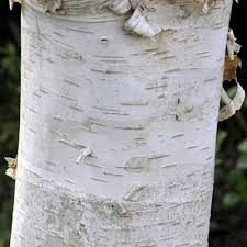 betula ermanii polar erman s birch tree buy erman s birch