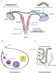 Anatomy Of Reproductive System Female Stem Cell Niches U2014 Stem Cells In The Female Reproductive