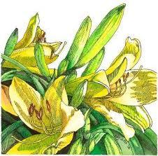 Yellow Lilies 7