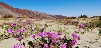 anza borrego wildflowers wildflowers in anza borrego desert state park glenna rose goes