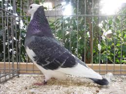 cuisine des pigeons voyageurs l élevage du pigeon