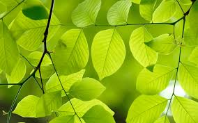 gardening tips and advice u2013 plant indentification u2013 oak leaf gardening