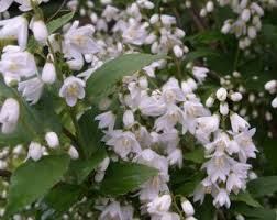 White Flowering Shrubs - a guide to choosing and caring for flowering shrubs