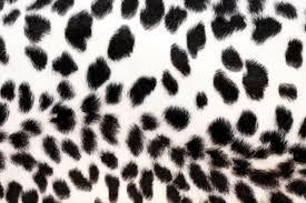 cheetah black white m jpg 1500 1000 labels pinterest
