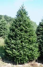 real trees jpg