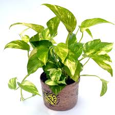 Plants In House Money Plants In House