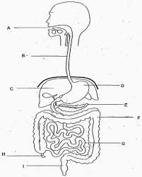 100 anatomy and physiology digestive system guide answers