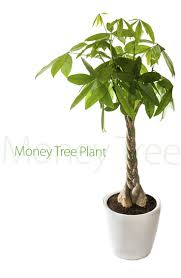 care instructions for a money tree plant money trees tree