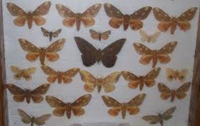 how to prepare butterflies and moths for display the economical