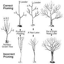 fruit tree pruning tree pruning fruit trees and apples
