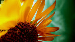 sunflower wallpapers sunflower hd wallpapers free download